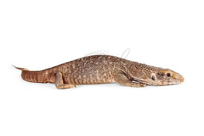 Baby Savannah Monitor Lizard