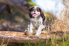 a smiling cavalier jumps a log