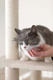 Gray-White-Cat-on-Scratching-Post-hand-petting