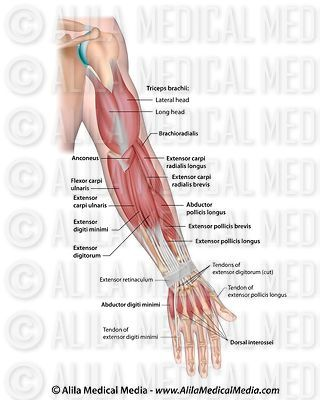 Whole arm muscles posterior