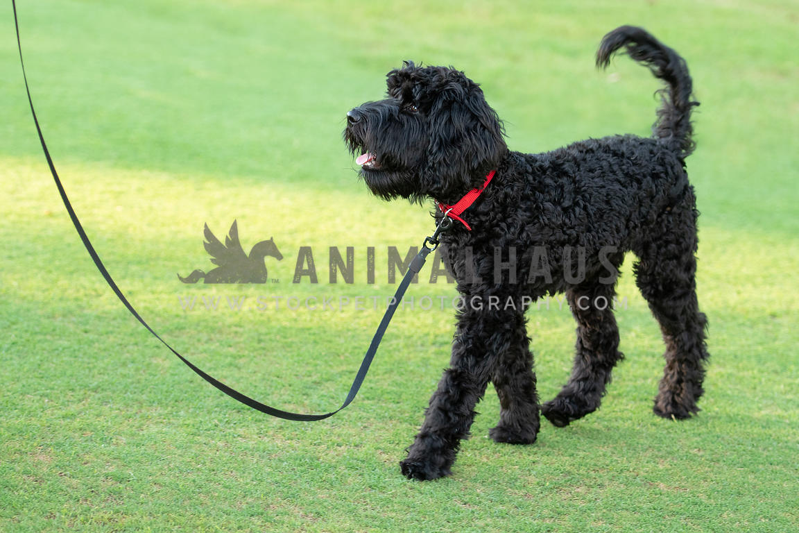 large black doodle puppy walking on leash across grass