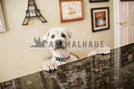 white Wheaten Terrier begging for food at kitchen counter