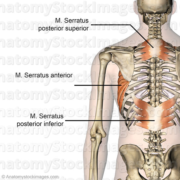 torso-musculus-serratus-anterior-posterior-inferior-superior-muscle-muscles-back-view-skin-names