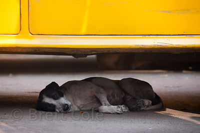 A stray dog sleeps underneath a taxi in Newmarket, Kolkata, India.