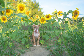 small, young pitbull puppy standing among tall sunflowers