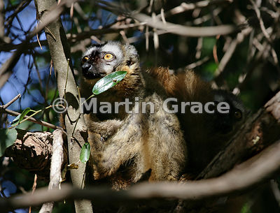Berenty Brown Lemur (Red-Fronted Brown Lemur x Red-Collared Brown Lemur (Eulemur fulvus rufus x Eulemur fulvus collaris)), Be...