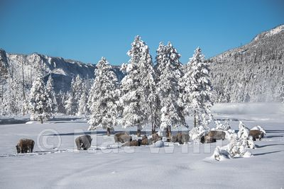Bison_in_snow-1300_January_21_2018_Nat_White
