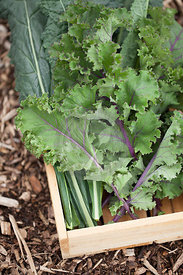 Nero di Toscana & Scarlet Kale in Wooden Box