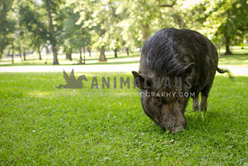 black pig eating grass