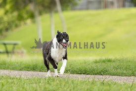 happy collie going for a run in the park