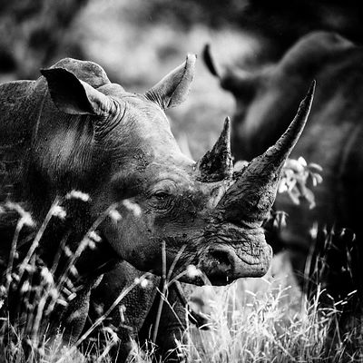 4306-White_rhino_through_the_grass_Laurent_Baheux