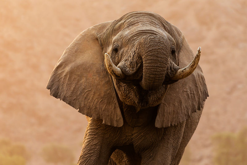 Close-up of a Desert Adapted Elephant Drinking at a Waterhole