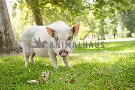 white pig standing in grass
