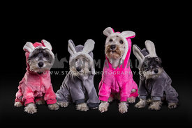Miniature Schnauzer family with colorful eastern bunny costumes