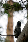 Chick of Great Grey Owl