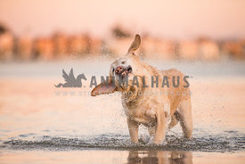 A dog shaking off water while standing in the lake