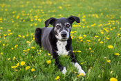 Old  Dog Lying Down in Grass and Dandelions