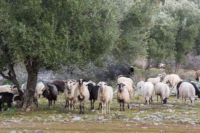 Brebis en train de paître sous les oliviers à Kritsa, Crète, Grèce / Ewes grazing under the olive trees in Kritsa, Crete, Greece