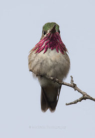 Calliope Hummingbird, Male