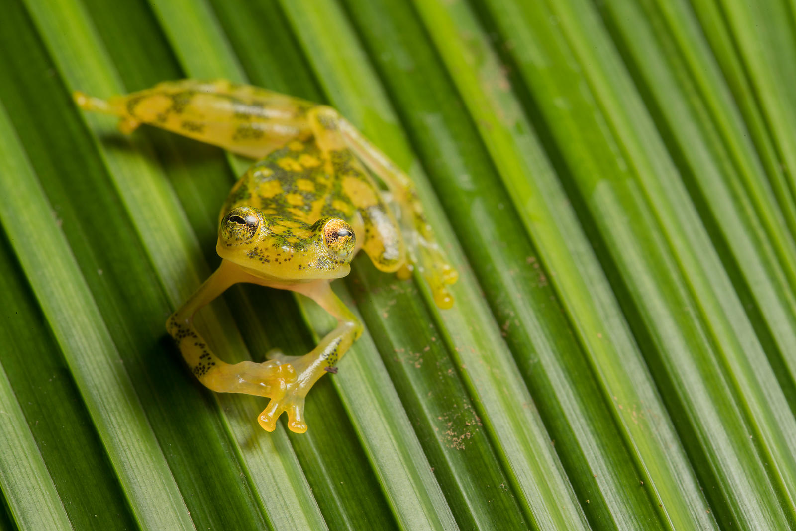 Reticulated Glass Frog, Costa Rica