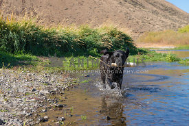 happy energetic black Labrador retriever dog running through shallow riverbed with white training bumper in mouth
