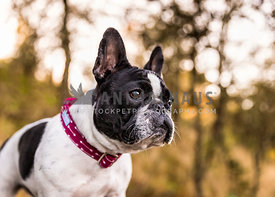French bulldog in woods