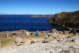 Local person walking past the Chincana Inca ruins with his sheep, Sun Island, Lake Titicaca, Bolivia