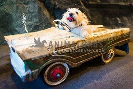 "white mixed breed dog riding in the ""Dude Wagon"" rustic toy car"