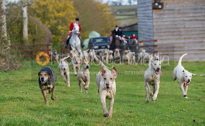 Cottesmore hounds running to camera