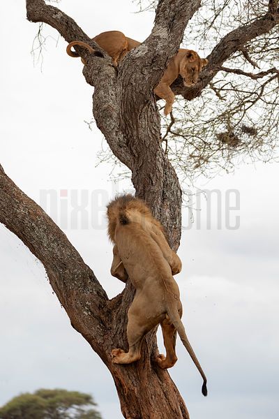 Male Lion Pursuing a Female Lion in Oestrus