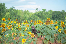 Chocolate lab standing in the middle of a big field of sunflowers