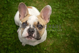 French Bulldog puppy sitting and looking up to the camera with big eyes