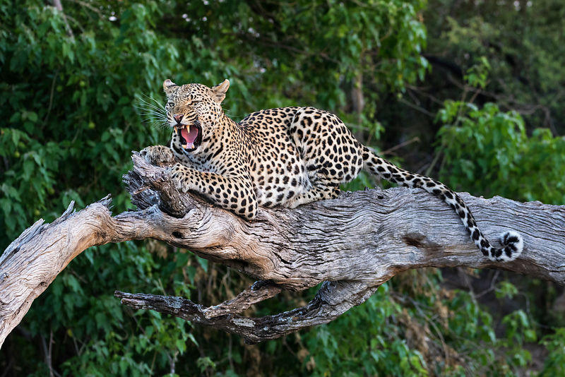 Portrait of a Female Leopard on a Dead Tree