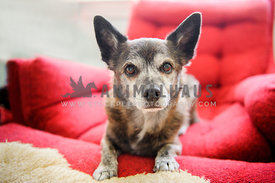dog with big ears on red chair looking at viewer