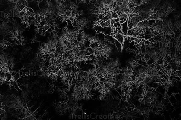 Black and white aerial view of dead oak tree canaopies