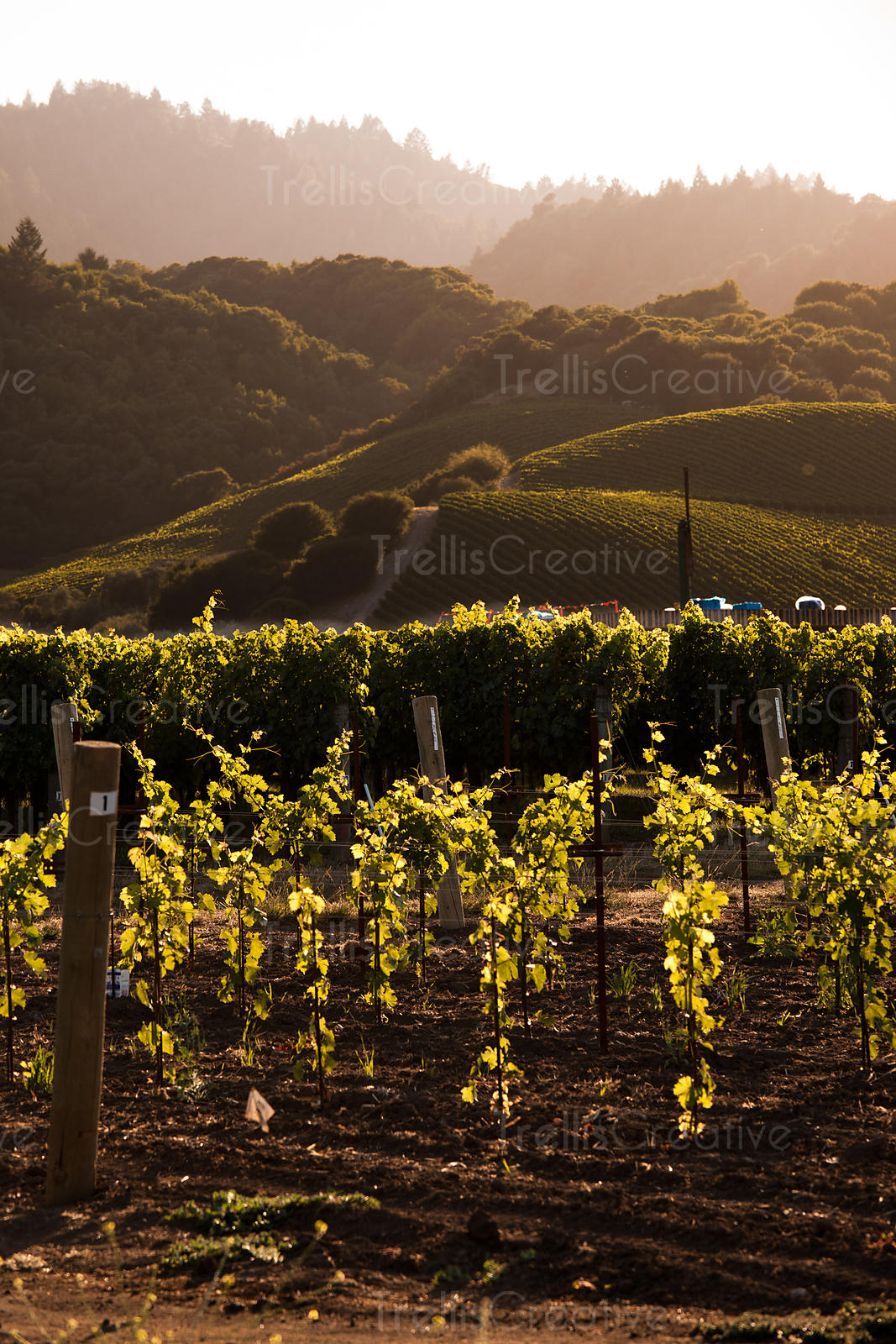 Newly planted vines in the Napa Valley at the foot of a Yountville hillside