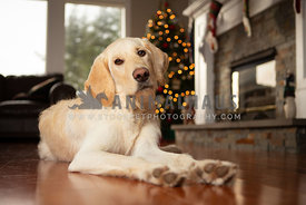 Young lab dog in living room in front of Christmas tree