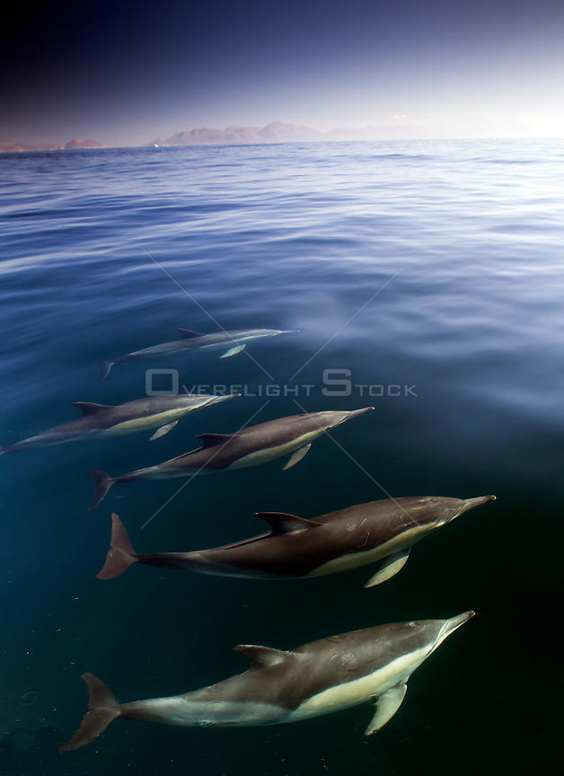 Common dolphins (Delphinus delphis), False Bay, Cape Town, South Africa, August.