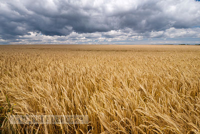 Field of barley beneath stormy skies, Kent, England.