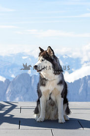 A husky poses on a platform overlooking the alps of Germany