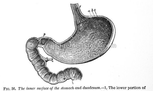 Stomach and duodenum.