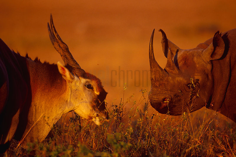 Portrait of a Black Rhino and an Eland