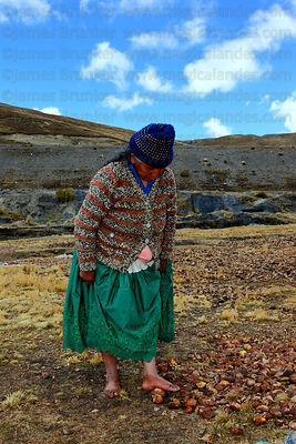 Woman trampling on potatoes laid out on the ground during freeze drying process that turns them into chuño , La Cumbre , Bolivia
