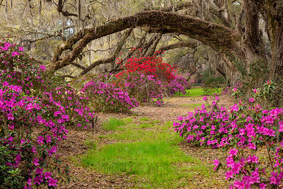 Tunnel of Oaks & Azaleas