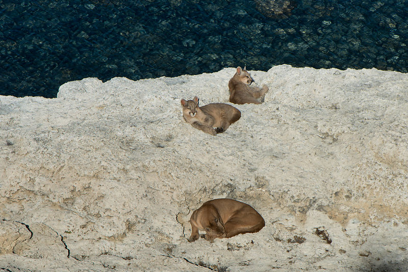 Puma (Felis concolor patagonica) female with 7 month old cubs on rocks, Lago Sarmiento. Torres del Paine National Park, Patag...