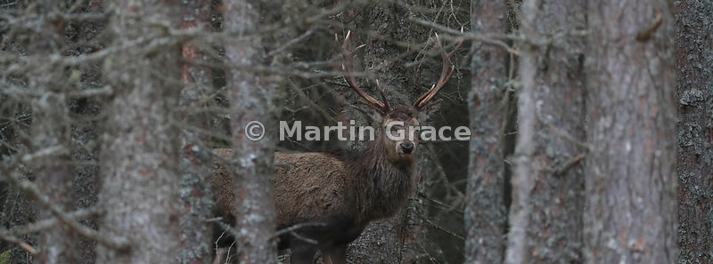 Red Deer stag (Cervus elaphus) within forestry, Badenoch & Strathspey, Scottish Highlands: alternative crop to previous image