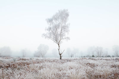 Limited edition Giclée fine art print of a leafless tree in the mist on Chobham Common