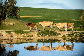 Cows in a row reflected in a dam