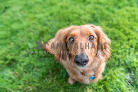 Dachshund on the grass looking up at camera