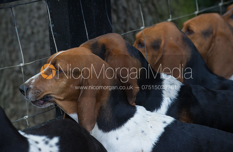 Row of Basset hounds from behind